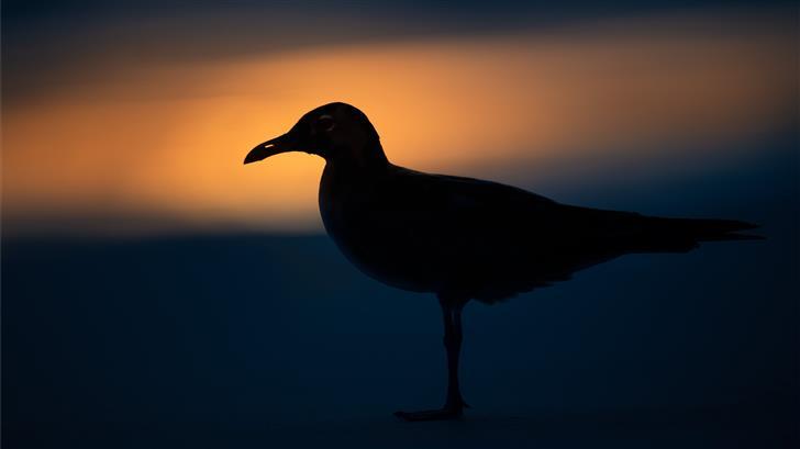 black bird close up photography Mac Wallpaper