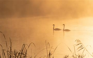 two swans on pond All Mac wallpaper