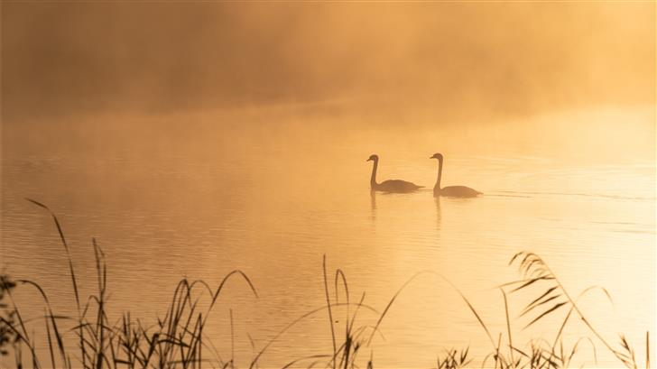 two swans on pond Mac Wallpaper