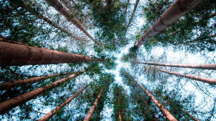 tall trees Mac Wallpaper