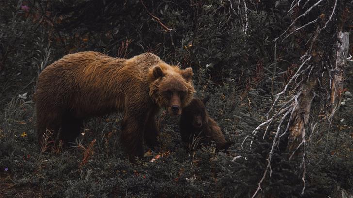 brown bear with cub Mac Wallpaper