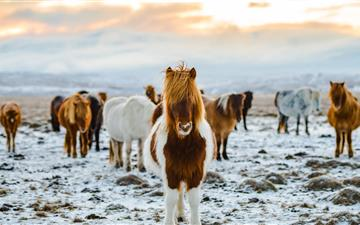 herd of white and brown donkeys on snow covered la iMac wallpaper