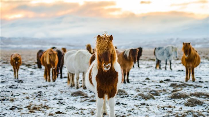 herd of white and brown donkeys on snow covered la Mac Wallpaper