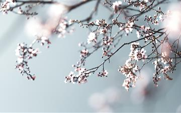 pink cherry blossom in close up photography All Mac wallpaper