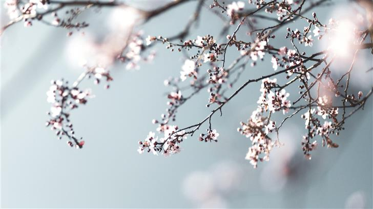 pink cherry blossom in close up photography Mac Wallpaper