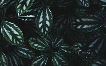 green and white striped leaf plant All Mac wallpaper