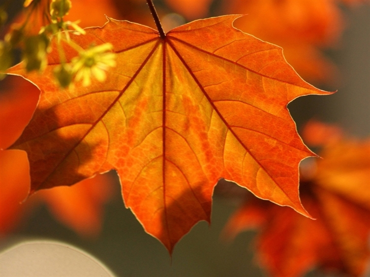 Oak Rust Colored Leaves Mac Wallpaper