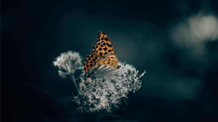 brown and black butterfly perched on white flower  Mac Wallpaper