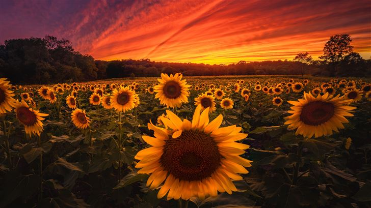 sunflower field 5k Mac Wallpaper