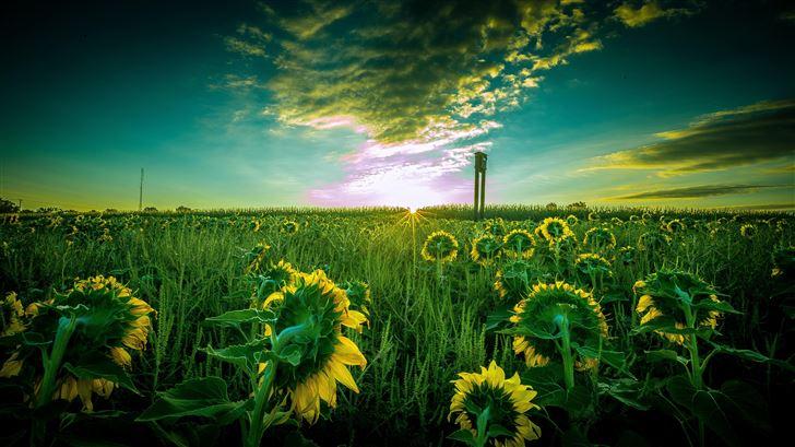 sun flower field 5k Mac Wallpaper