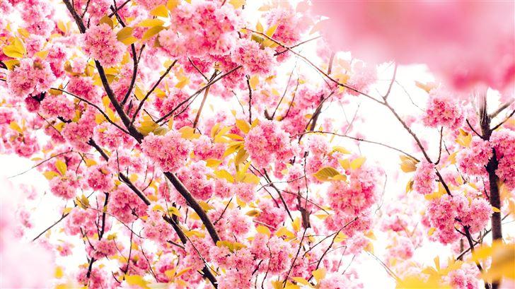 pink blossoming tree 8k Mac Wallpaper