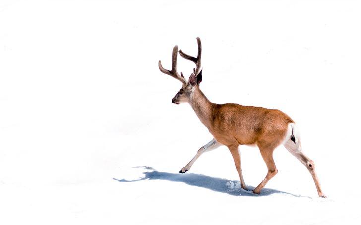 brown deer on white background Mac Wallpaper