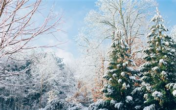 green pine trees during snow season iMac wallpaper