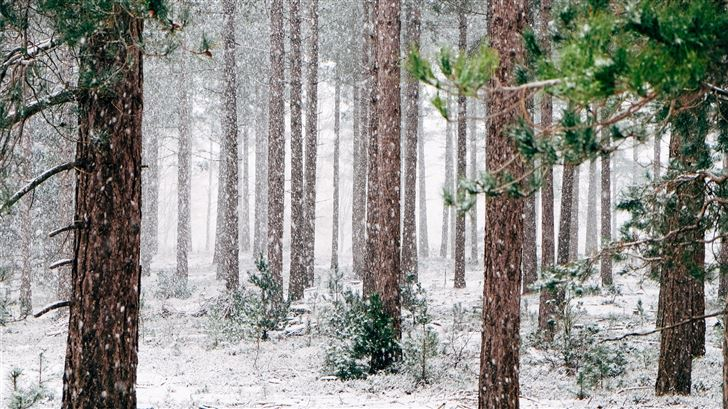 tall pine trees covered with snow during winter Mac Wallpaper