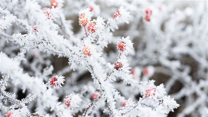 berry branches frost winter 5k Mac Wallpaper