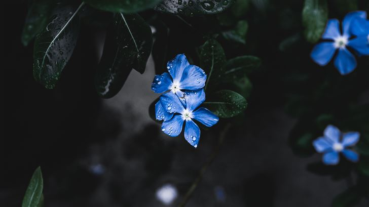 blue plant flower Mac Wallpaper