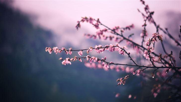 pink blossom tree branch spring 5k Mac Wallpaper