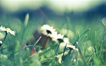 Daisies And Grass All Mac wallpaper