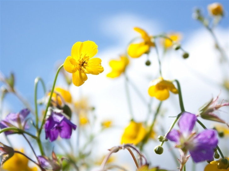 Plants Flowers Spring Sky Yellow Purple Mac Wallpaper