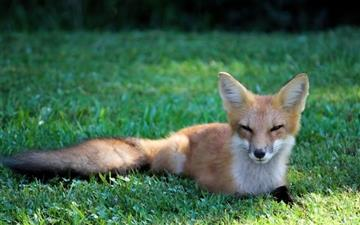 Pretty red fox Mac wallpaper