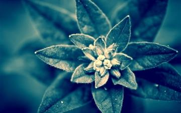 Blue plant macro Mac wallpaper