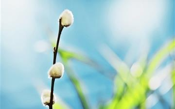 Willow buds Mac wallpaper