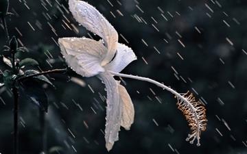 The Flower Of The Rain Mac wallpaper