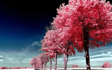 Roadside Pink Trees Mac wallpaper