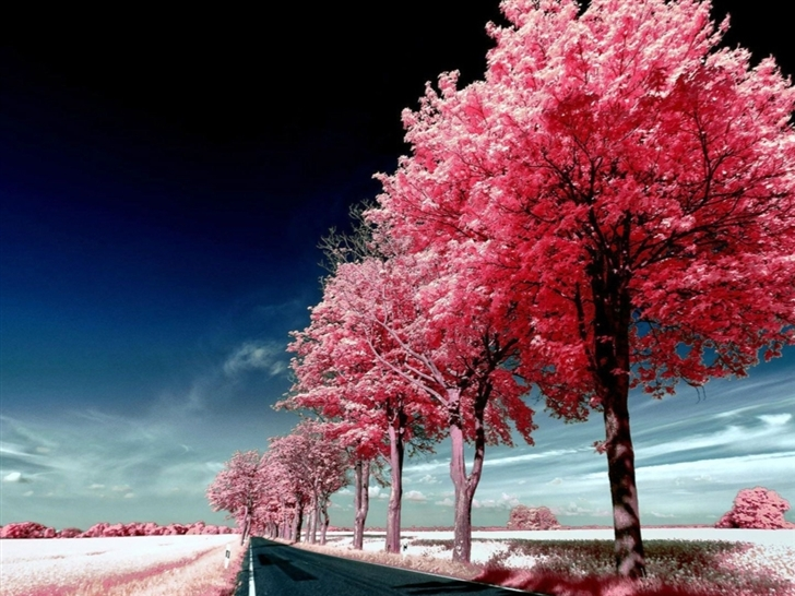 Roadside Pink Trees Mac Wallpaper