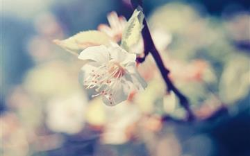 Pear Blossom All Mac wallpaper