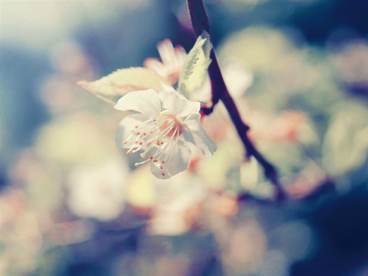 Pear Blossom Mac Wallpaper