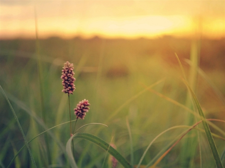 Grass Field Sunset Summer Flowers Mac Wallpaper