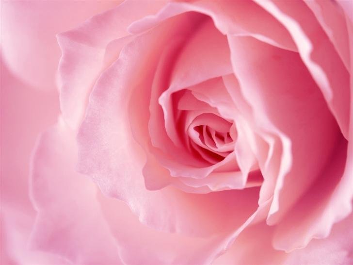 Light pink rose macro Mac Wallpaper