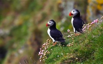 Atlantic Puffins Mac wallpaper