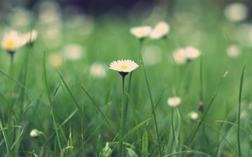 Small daisies Mac wallpaper