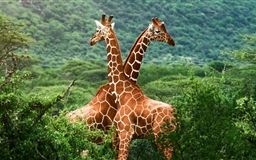 Lovely  giraffe