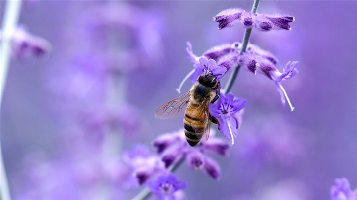 Purple flower and bee Mac Wallpaper