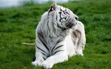 White tiger Mac wallpaper