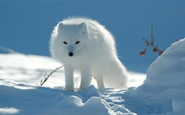 Snow Fox Mac wallpaper