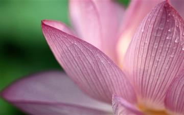 Praise to the lotus Mac wallpaper