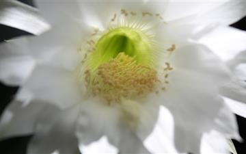 Cactus Flower Mac wallpaper