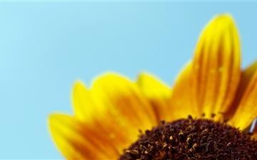 Sunflower Mac wallpaper