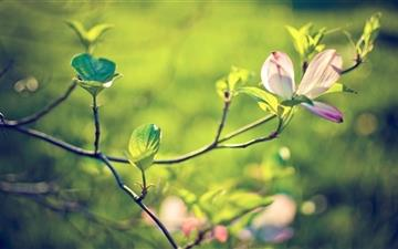 Dogwood Tree Blossom Mac wallpaper