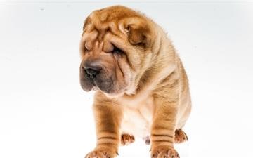 Cute dog Mac wallpaper