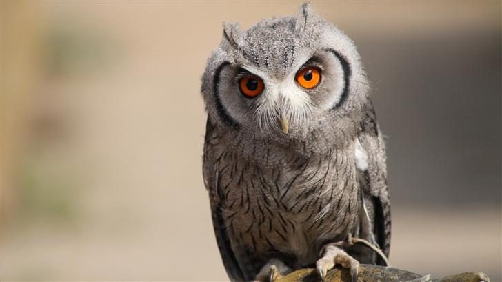 The owl Mac Wallpaper