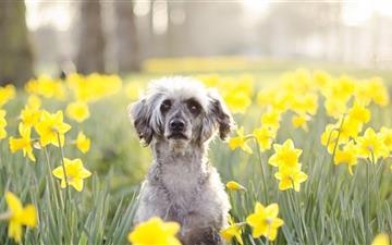 A dog in flowers tune Mac wallpaper