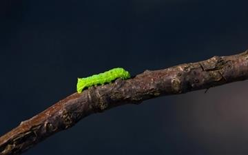 The green worm Mac wallpaper