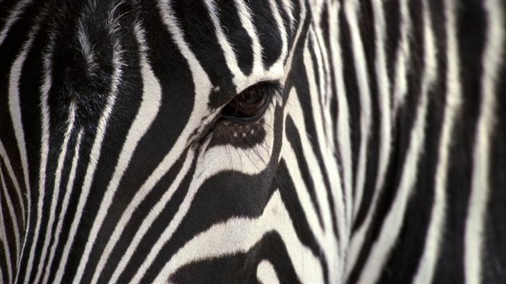 A zebra Mac Wallpaper