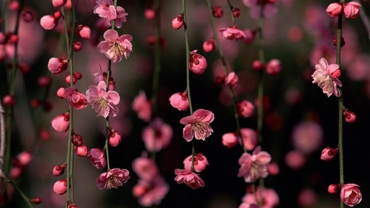 Blossom Mac Wallpaper