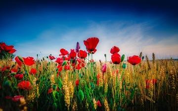Poppy and wheat Mac wallpaper